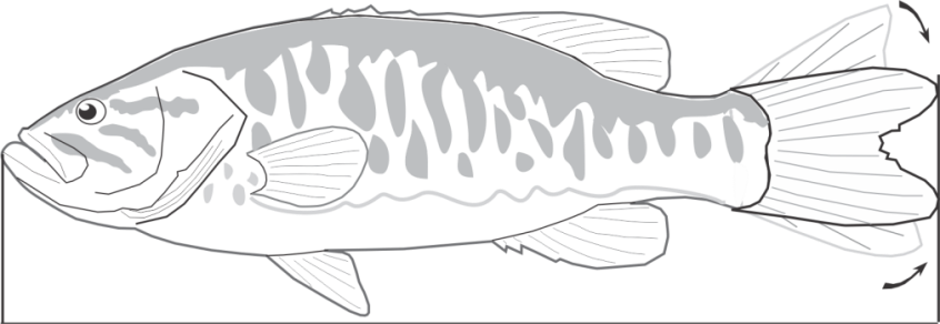 Figure 1. Fish should be measured from the snout to the tip of the compressed tail.