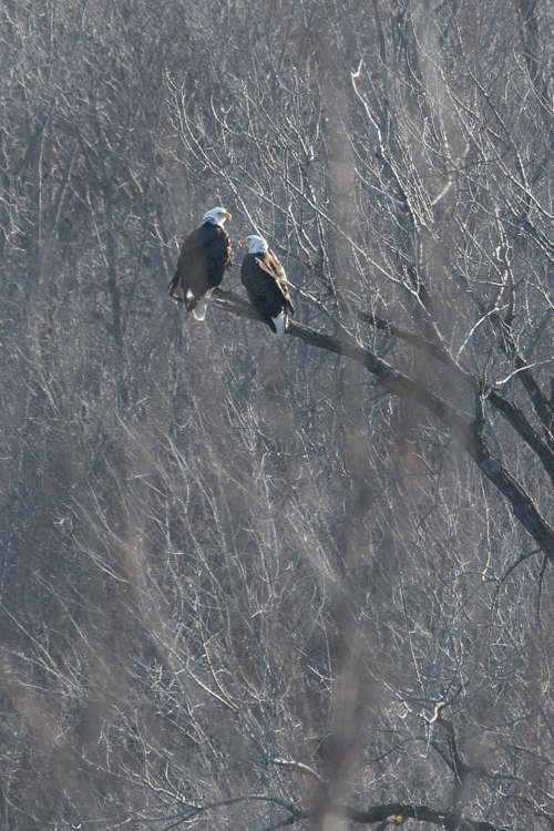 Bald eagles congregate along open water areas near the dam at Prairie du Sac.  - Photo credit: DNR
