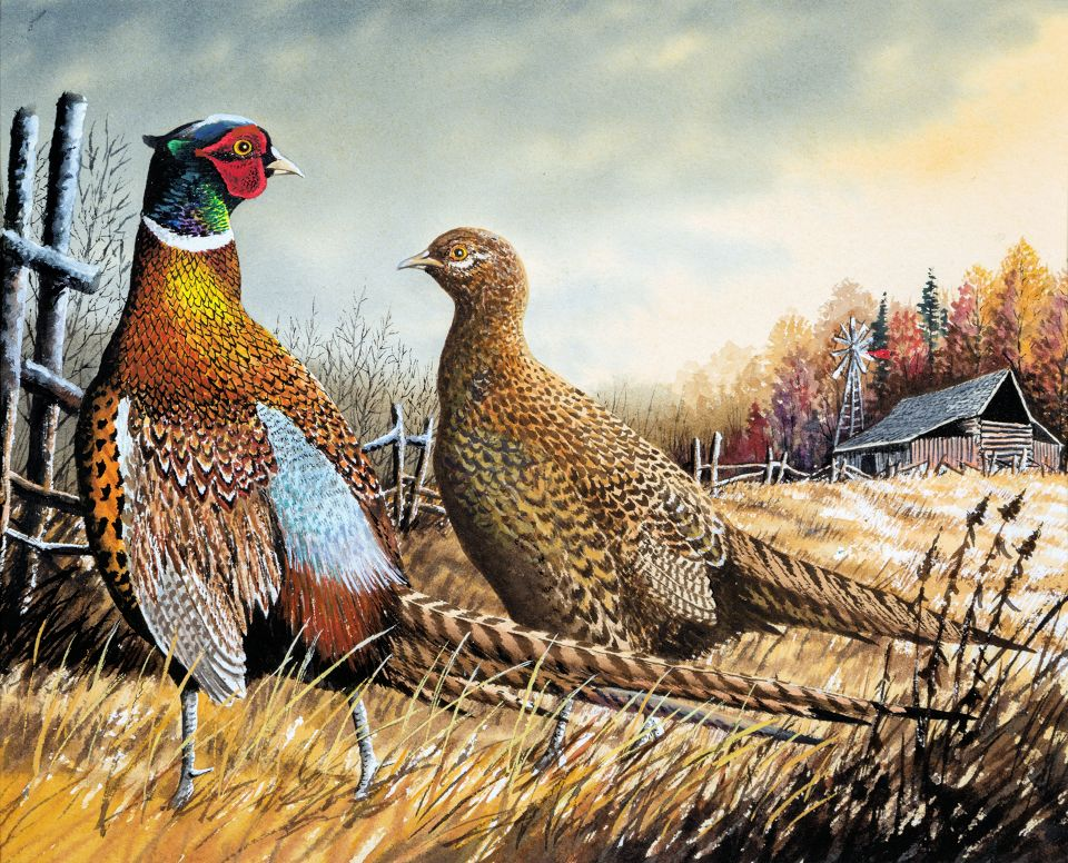 Entries Sought For Wisconsin Wild Turkey Pheasant And Waterfowl Stamp Design Contests
