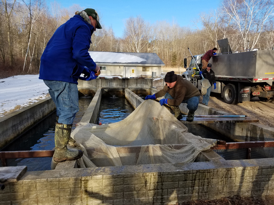 Kettle Moraine Springs Fish Hatchery staff transfer Chambers Creek steelhead from raceways to a stocking truck on March 14 for delivery to Lake Michigan tributaries. - Photo credit: DNR