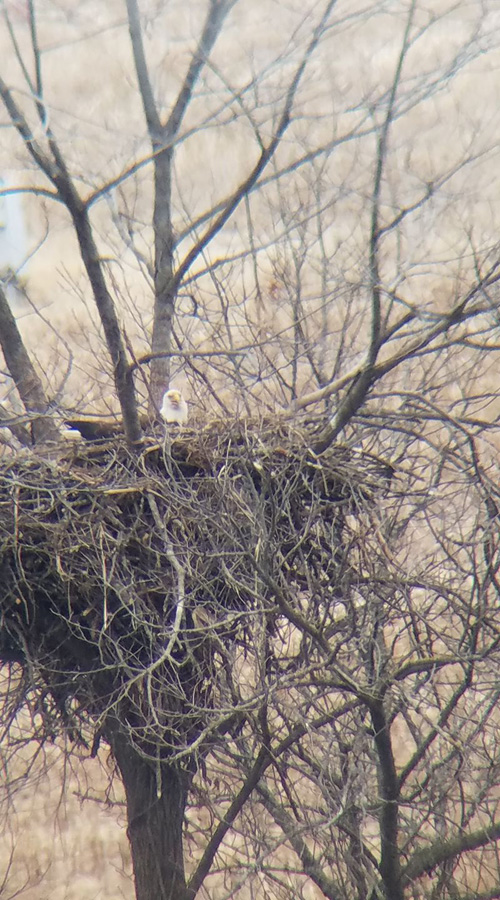 Bald eagles are on their nests in southern Wisconsin, including this one along the Lower Wisconsin Riverway in the Spring Green Area, and DNR aerial surveys for occupied nests are underway.  - Photo credit: Michael Balfanz