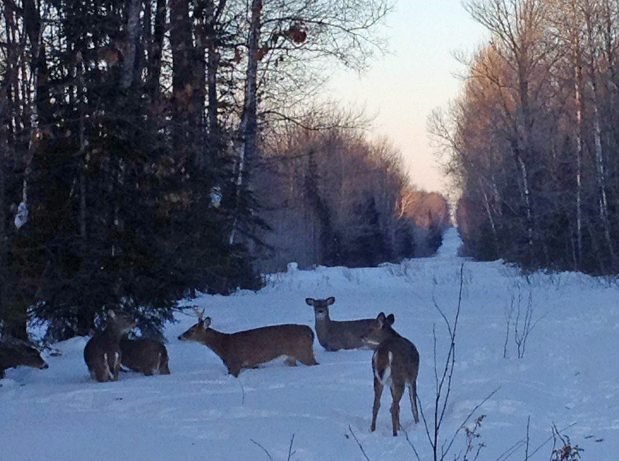 With more than two feet of snow remaining in some areas, wildlife biologists across the north have been in the field investigating reports of noticeably stressed deer. - Photo credit: DNR