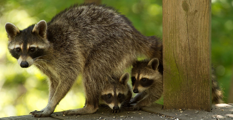 Raccoon young, called kits, are born sightless but are capable of walking, climbing and running when they are 6-8 weeks old.  - Photo credit: Cheryl Stephenson