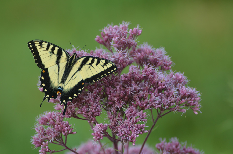 Native plant nurseries and native plant sales are good options for buying native plants like this joe pye weed, which attracts many butterflies including the eastern tiger swallowtail pictured.  - Photo credit: DNR