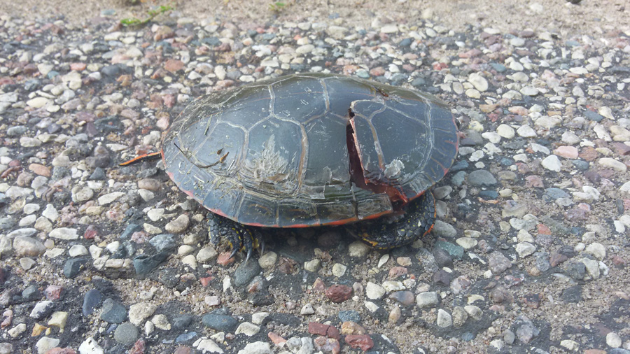 "Female turtles return to the same site year after year, known as ""site fidelity,"" making citizen reports of hotspot road crossings very important in preventing turtles from getting run over.   - Photo credit: DNR"