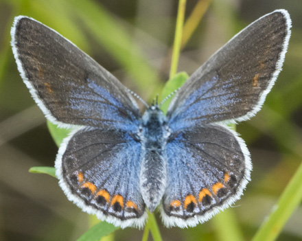 Karner blue butterflies can be identified by the bands of orange spots on the underside edge of their wings. - Photo credit: Mickey Kienitz
