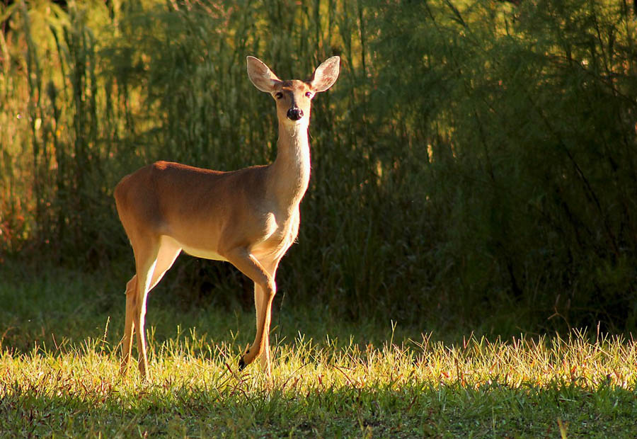 People can begin reporting deer observations on August 1. - Photo credit: DNR