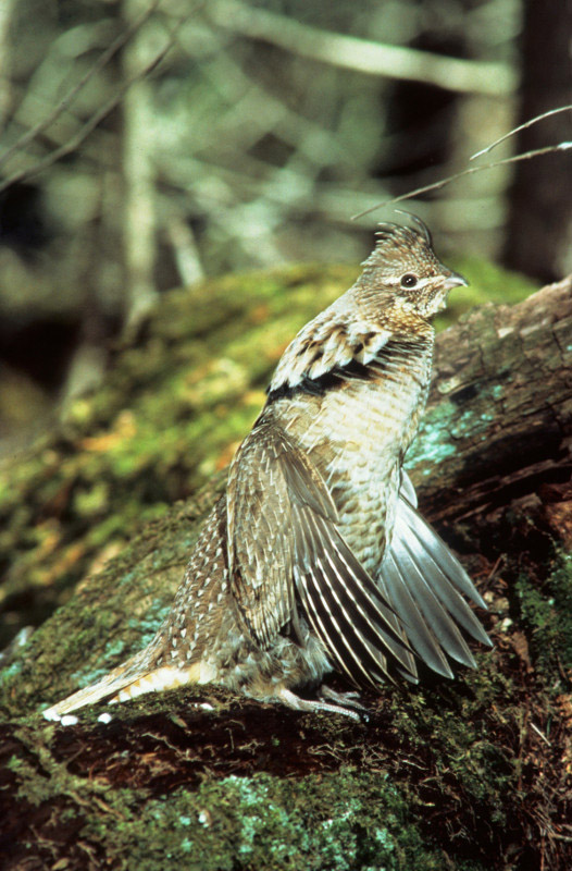 Ruffed grouse- Photo credit: DNR