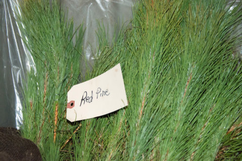 Red pine are one of many species available from state nurseries beginning Oct. 1. - Photo credit: DNR
