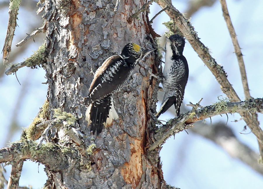 A pair of American three-toed woodpeckers seen in Bayfield County in 2018. The species has only been photographically documented twice in Wisconsin since 1986. - Photo credit: Ryan Brady