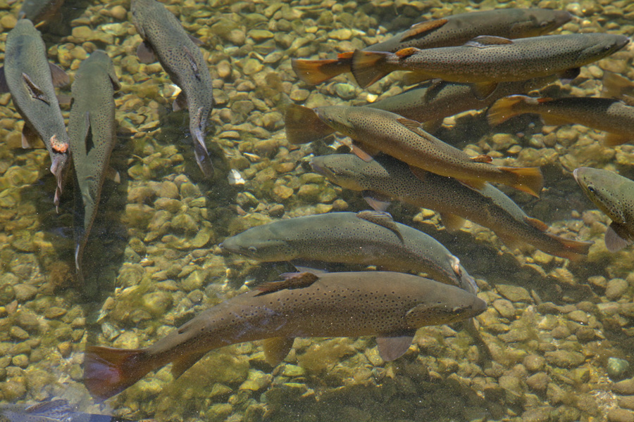Enjoy family friendly activities, see big brown trout up close, and tour the beautiful historic grounds at the Oct. 27 Wild Rose Hatchery Fall Open house.    - Photo credit: DNR