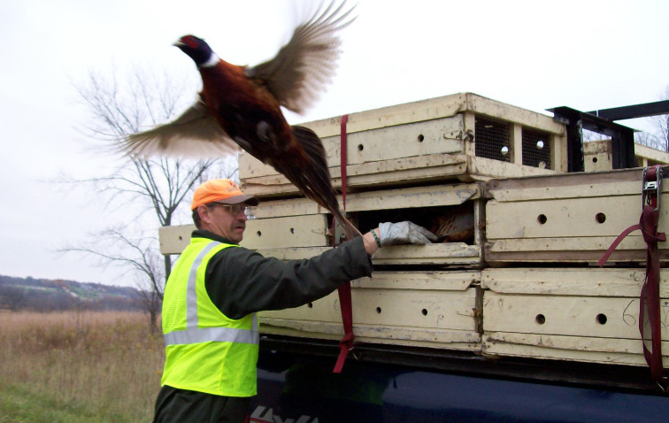 DNR staff will be stocking 2,260 pheasants on eight properties in southern Wisconsin during the week of Dec. 16. - Photo credit: DNR