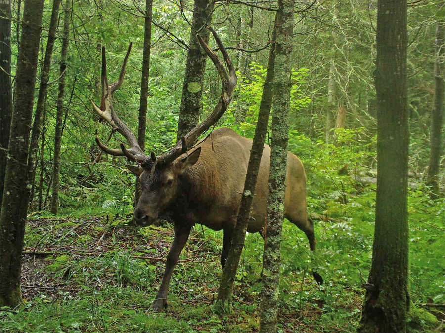 A bull elk from the original Clam Lake herd photographed in Sawyer County in August 2017. - Photo credit: Kevin Wallenfang