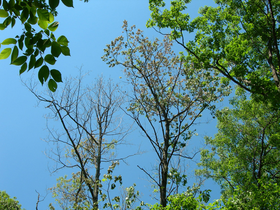 Two oaks, one in the process of wilting and the other having almost no leaves left, is a sure sign that Oak Wilt is active.  - Photo credit: DNR