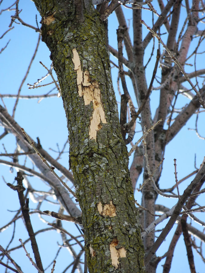 Light flecking on the top of an ash tree can be a sign of EAB infections. - Photo credit: Bill McNee
