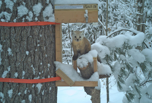 The recent snowfall is especially good news for American martens, which tunnel under the snow in search of prey. Inconsistent snowpack in recent years, however, is one reason conservation biologists are turning to trail cams to help research and monitor marten populations. - Photo credit: DNR