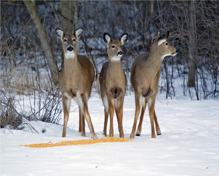 Providing deer with a heavy corn diet can be fatal. - Photo credit: DNR