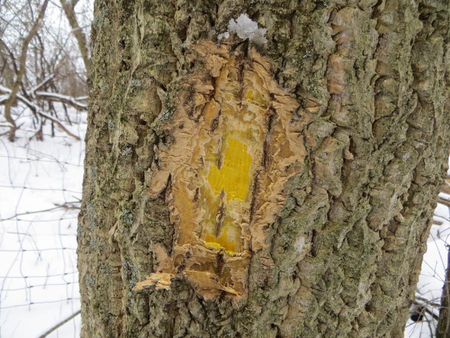 Corky bark and bright yellow cambium.  - Photo credit: DNR