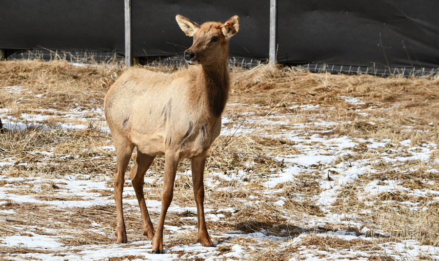 One of the newly arrived Kentucky elk cows adjusting to the quarantine pen where they are being held to satisfy health testing requirements and to allow the animals time to acclimate to the area. - Photo credit: DNR