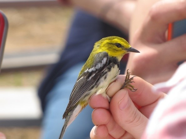 This Black-throated Green Warbler was caught in a mist net during a previous Horicon Marsh Bird Festival bird banding demonstration. Measurements were taken and a small band was placed on the leg in hopes that it will be caught again in future years to learn more about the biology of this species. - Photo credit: DNR