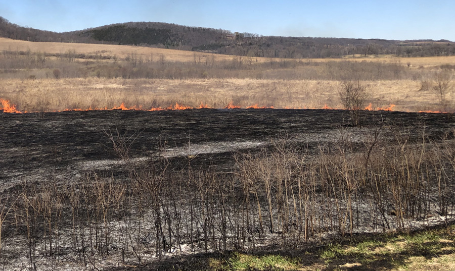 The application of prescribed fire can help reduce the presence and spread of brush within this tallgrass prairie. Increased growth of native grasses and wildflowers after the burn will lead to an increase in insect abundance - which is crucial for fledgling grassland bird survival. - Photo credit: DNR