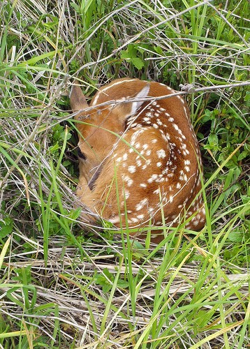 A quiet fawn found alone is not abandoned. - Photo credit: DNR