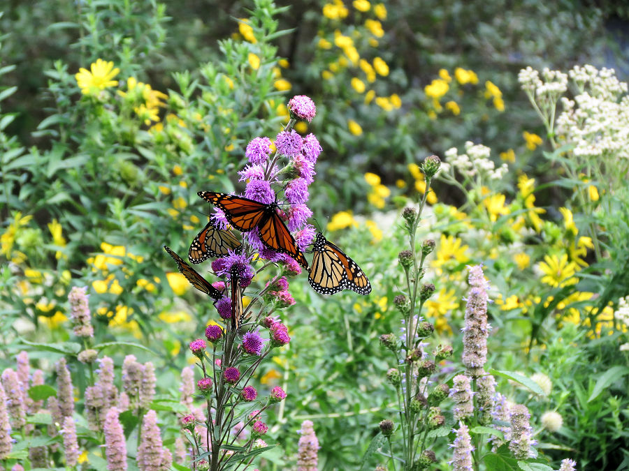 Add flowers like this showy blazing star to provide nectar for monarch butterflies. - Photo credit: Paul Skawinski