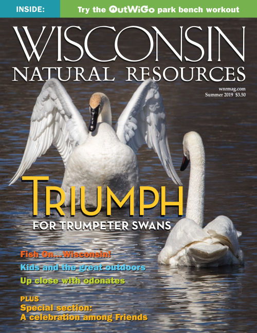 Trumpeter swans grace the cover of the summer issue of Wisconsin Natural Resources magazine - Photo credit: DNR