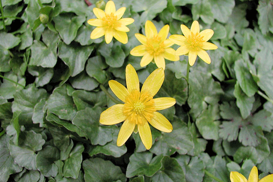 Lesser celandine is poisonous to livestock and humans and inhibits wildflower growth in woodlands. - Photo credit: DNR
