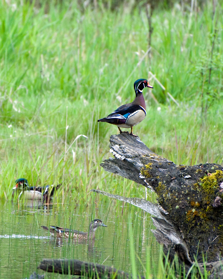There was essentially no change in the wood duck population estimates from 2018. - Photo credit: George Gentry, USFWS