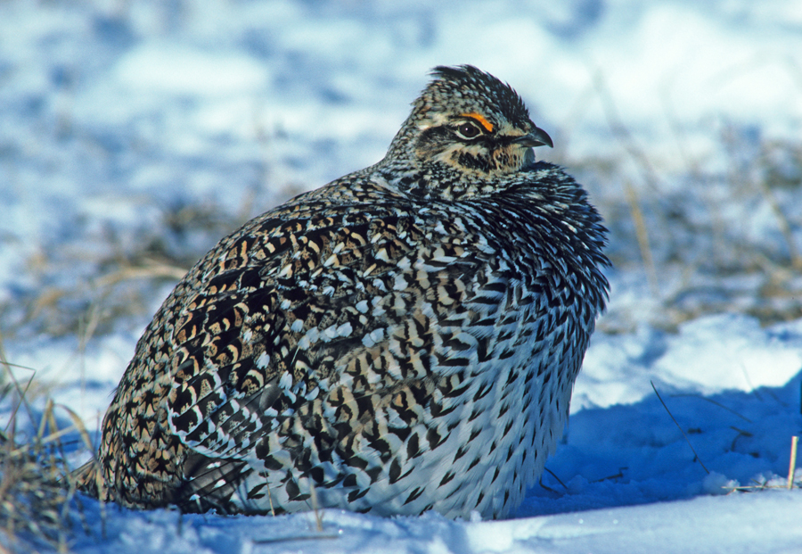 A female sharp-tailed grouse in snow. Due to concerns for future viability of sharp-tailed grouse in Wisconsin, hunting permits will not be issued for the fall 2019 season. - Photo credit: Brandon Converse