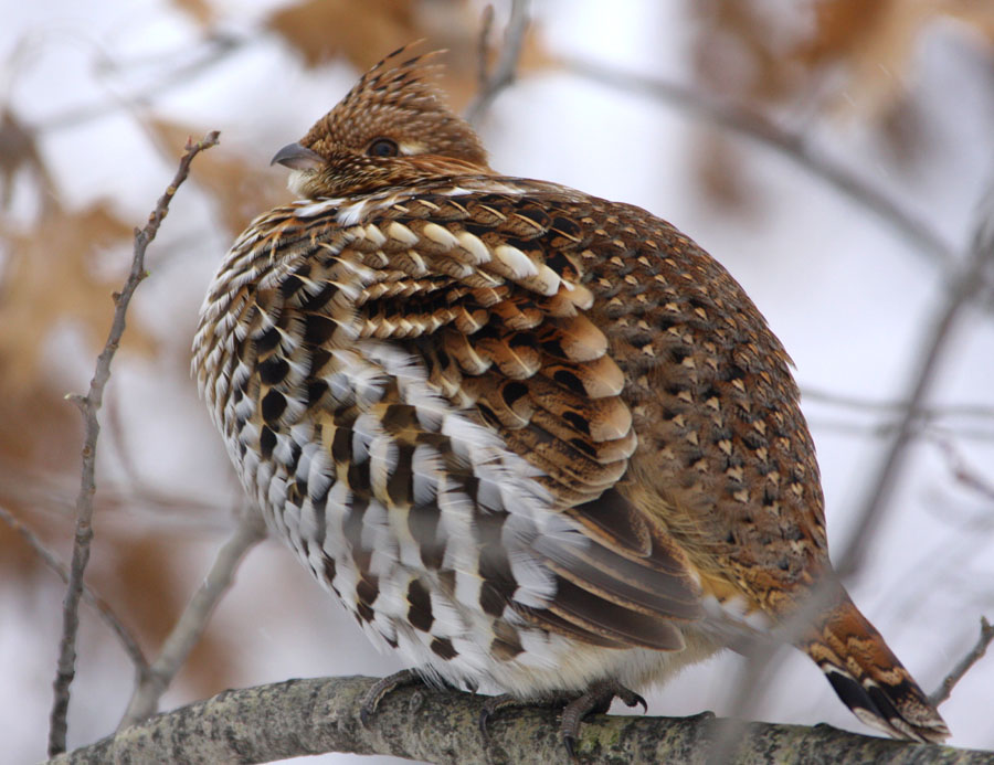 A draft of the 2020-2030 ruffed grouse management plan is open for public comment from July 30 through August 26. - Photo credit: DNR
