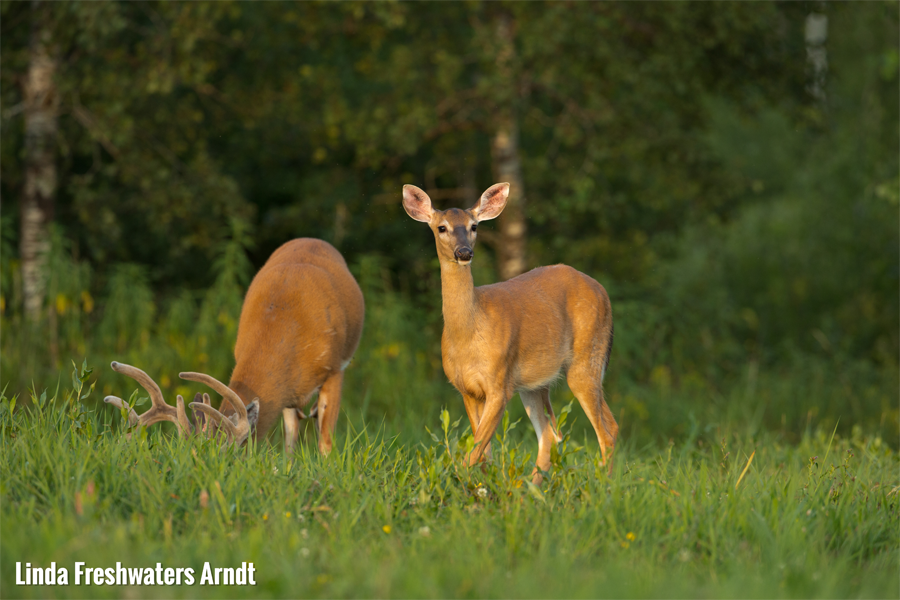 Antlerless deer harvest authorizations for the 2019 season will go on sale Monday, August 19 at 10 a.m. - Photo credit: Linda Freshwaters Arndt