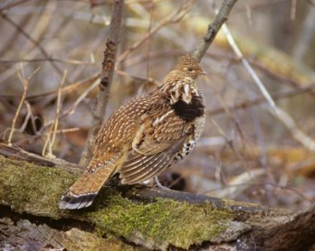 Hunters can help monitor West Nile virus in ruffed grouse by requesting a self-sample kit from their local wildlife biologist. - Photo credit: Paul Carson