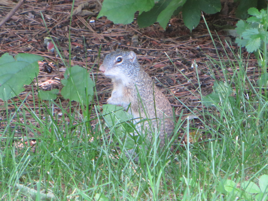 Stupendous Rare Franklins Ground Squirrels Get A New Home Weekly Beutiful Home Inspiration Ommitmahrainfo