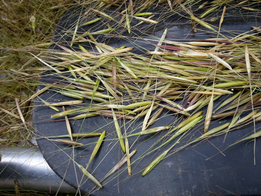 Wild rice. - Photo credit: DNR