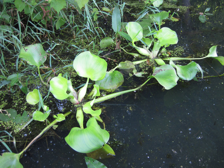 The newly updated AIS management plan includes strategies for controlling many aquatic invasive species including this water hyacinth plant.  - Photo credit: DNR