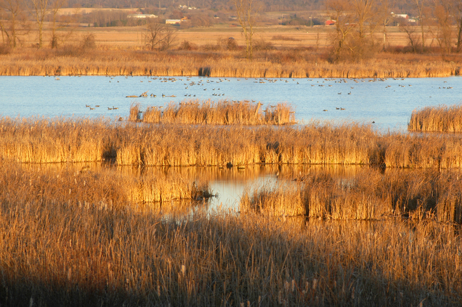 Loose cattail mats have caused some hunters to become stranded in recent days on Horicon Marsh. - Photo credit: DNR