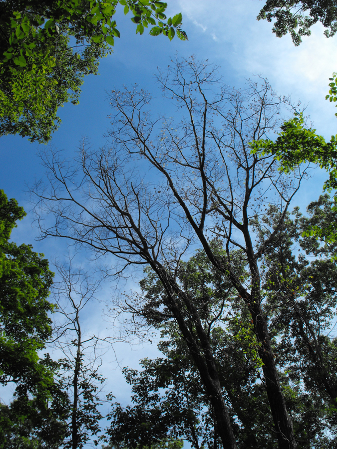 Leaves of infected trees rapidly wilt and drop to the ground in summer. - Photo credit: DNR Forest Health