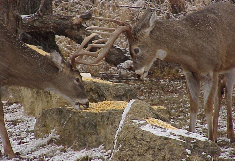 Deer baiting and feeding bans are implemented as a tool to limit the spread of disease and specifically CWD. - Photo credit: Jerry Davis