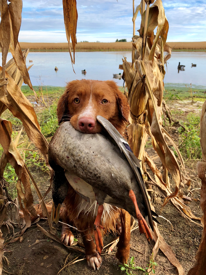 A boat and blind offer close quarters, and dogs need to get accustomed to the situation before the hunting season. - Photo credit: DNR
