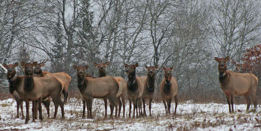 Hunters are being reminded to be on the lookout for elk and moose. Elk are now regularly encountered in Ashland, Sawyer, Price, Rusk and Bayfield counties and reintroduction efforts that began in 2014 brought elk back to Jackson County. - Photo credit: DNR