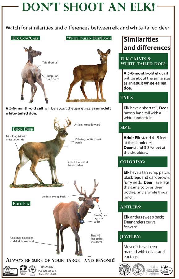 To be sure of their shots, hunters should recognize the difference between whitetails and elk. - Photo credit: DNR