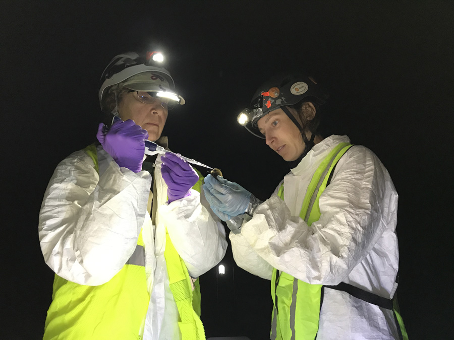 Vaccinating bats to save them from white-nose syndrome.  - Photo credit: Tonie Rocke, USGS