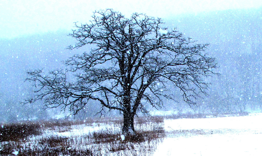 In cold weather, most of the water in deciduous trees such as oaks is stored as sap in the root system to avoid freezing. It's just one way plants and animals outwit winter, Wisconsin Natural Resources magazine notes. - Photo credit: Contributed by Len Harris