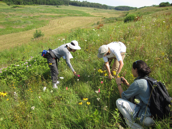 Volunteers for the DNR Rare Plant Monitoring Program look for rare plants in a southern Wisconsin prairie.  - Photo credit: Kevin Doyle