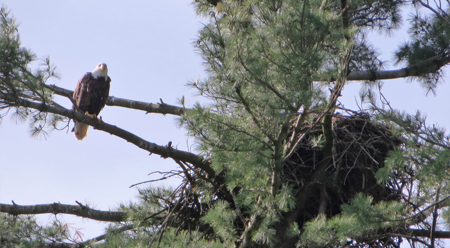 New bald eagle nests were reported by citizens in 2019  - Photo credit: Rich Staffen