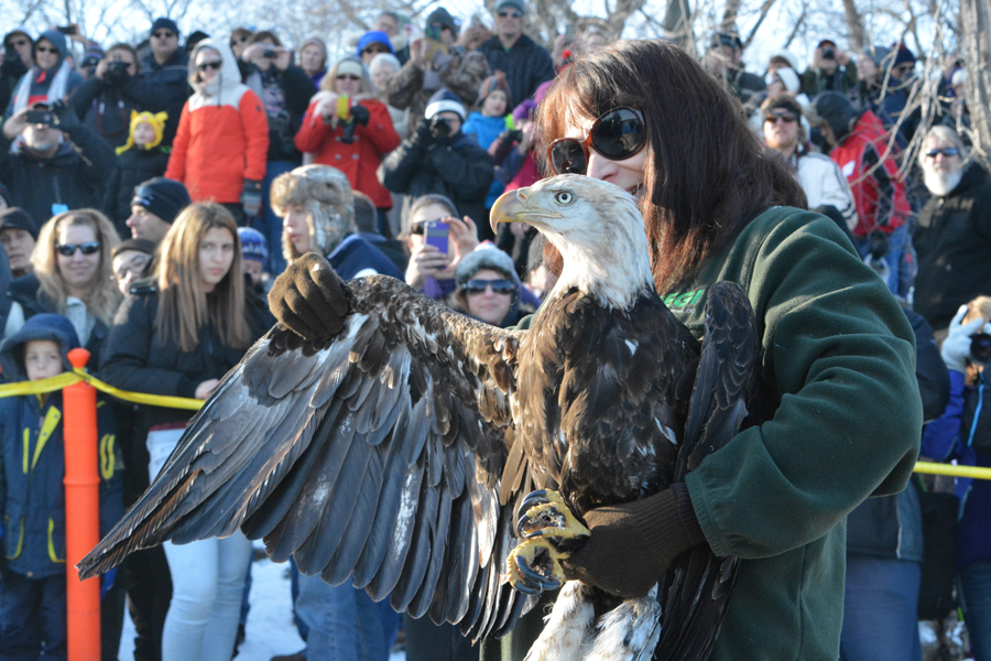 Watch the live release of rehabilitated bald eagles at the Jan. 18 Bald Eagle Watching Days in Prairie du Sac. - Photo credit: Matt Ahrens