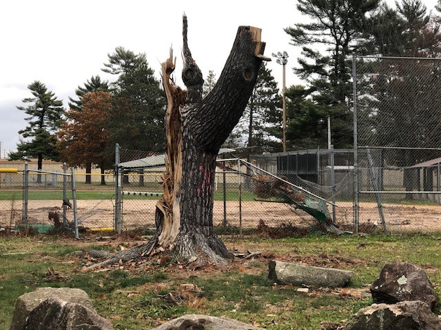 A tree in a Wisconsin Rapids park damaged by last summer's storms. - Photo credit: DNR