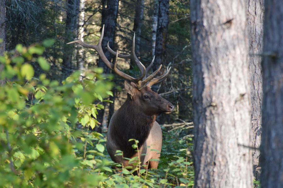 A bull elk in northern Wisconsin - Photo credit: Jeff Mulden